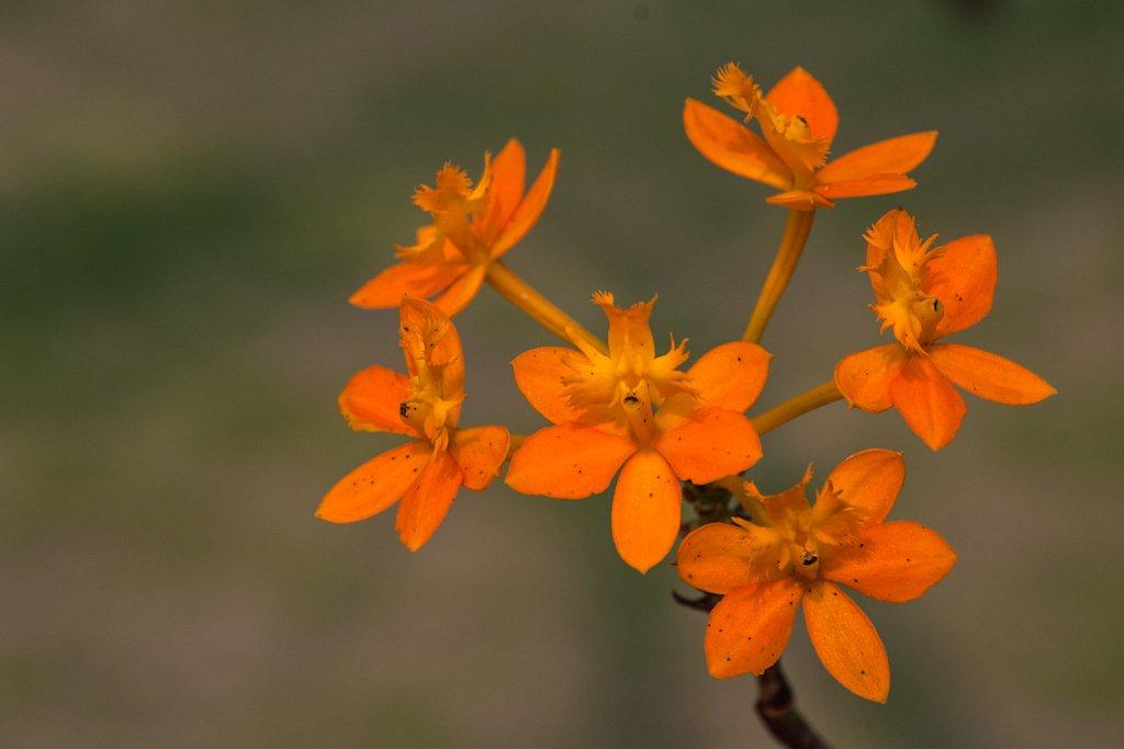 orange blooms of morning glory
