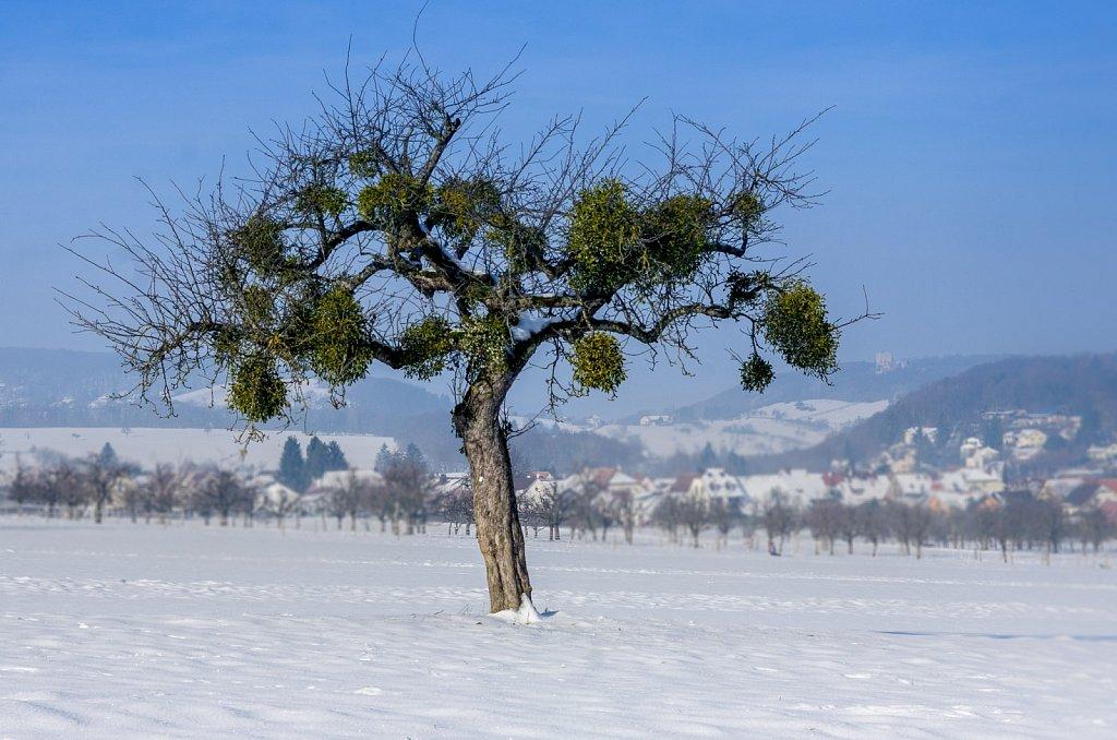 misteltoe tree
